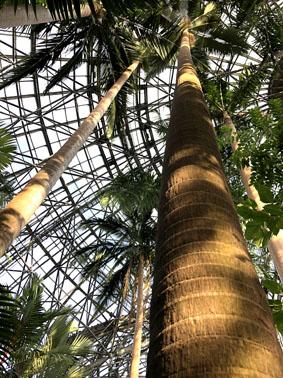 温室の天井まで伸びるヤシの木
